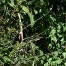 Image of <i>Priva flabelliformis</i> (Moldenke) R. Fern.