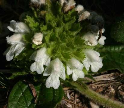 Image of <i>Leucas nyassae</i> Gürke
