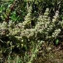 Image of Comb bushmint