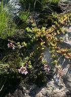 Image of <i>Aeollanthus serpiculoides</i> Baker