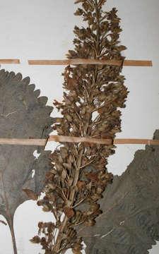 Image of <i>Plectranthus shirensis</i> (Gürke) A. J. Paton