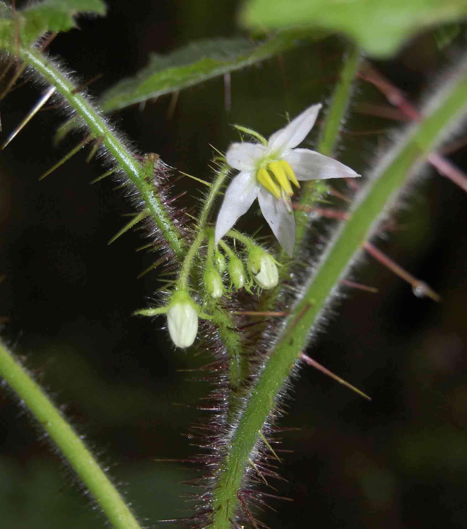 Image of <i>Solanum aculeatissimum</i> Jacq.