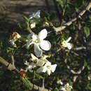 Image of Gummy gardenia