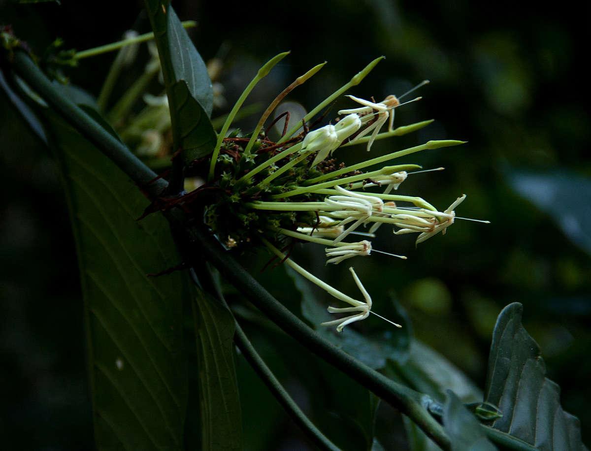 Image of <i>Oxyanthus speciosus</i> DC.