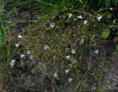 Image of <i>Wahlenbergia banksiana</i> A. DC.