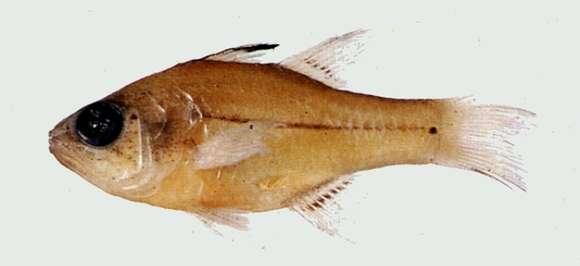 Image of Fibramia