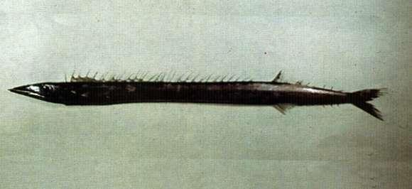 Image of Gempylus