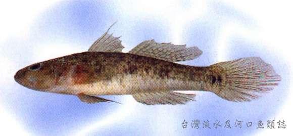Image of Glossogobius