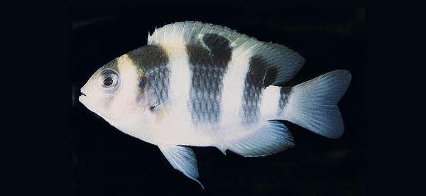 Image of Dischistodus