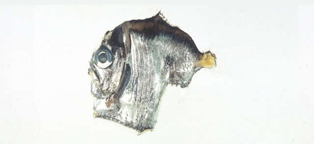 Image of Sternoptyx