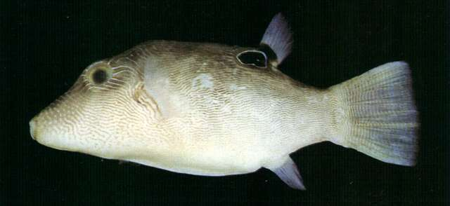 Image of Canthigaster