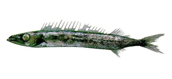 Image of Nealotus