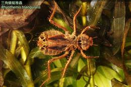 Image of Flutterers (Dragonflies)