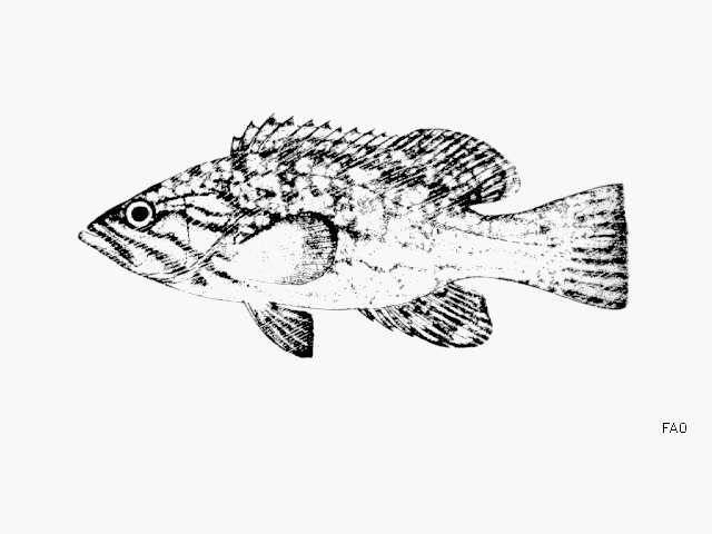 Image of Mycteroperca