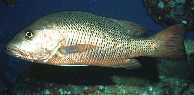 Image of Common snappers