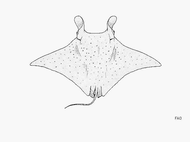 Image of stingrays and relatives