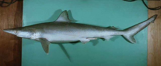 Image of sharpnose shark