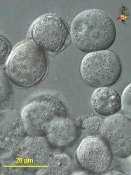 Image of Centramoebia