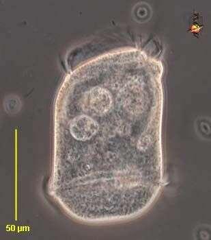 Image of Opisthonectidae