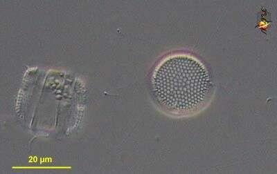 Image of Coscinodiscales