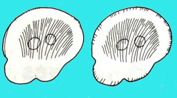 Image of Opalozoa