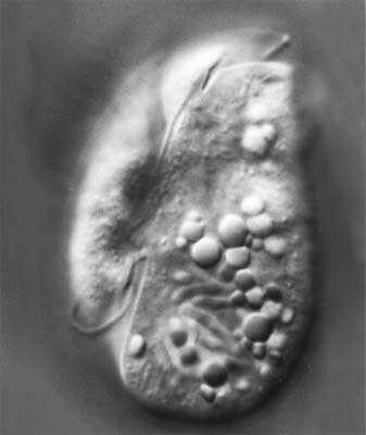 Image of <i>Amphidinium incoloratum</i>