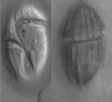Image of <i>Gyrodinium dominans</i>