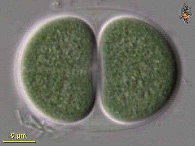 Image of Chroococcaceae