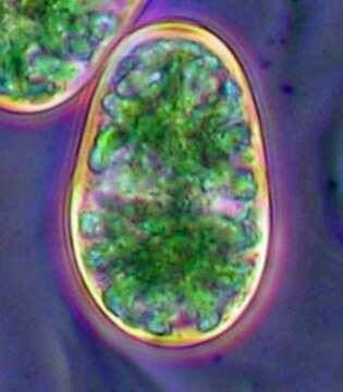 Image of glaucophytes