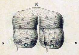 Image of Urocentridae