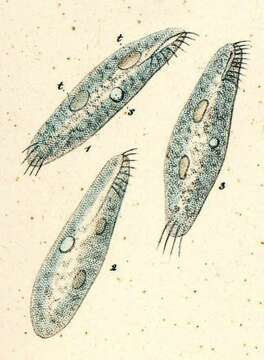 Image of Spirotrichea