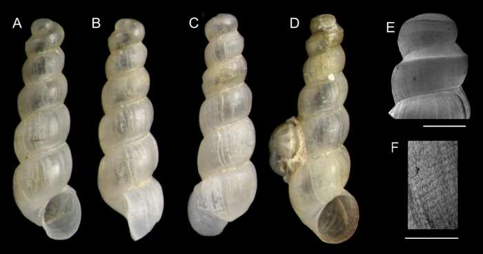 Image of unclassified Gastropoda
