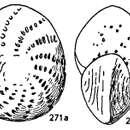 Image of <i>Elphidium lanieri</i> (d'Orbigny 1839)