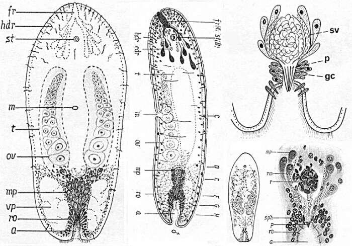Image of Haploposthia