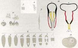 Image of <i>Plagiostomum vittatum</i> (Frey & Leuckart 1847)