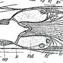 Image of <i>Ethmorhynchus anophthalmus</i> Meixner 1938