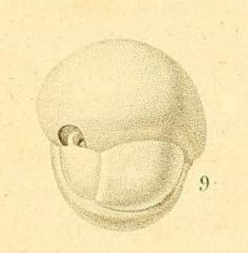 Image of Serioidea Holzmann & Pawlowski 2017
