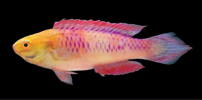 Image of Wrasses