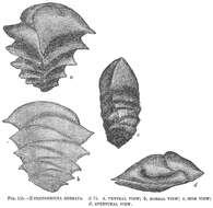 Image of <i>Ehrenbergina serrata</i> Reuss 1850