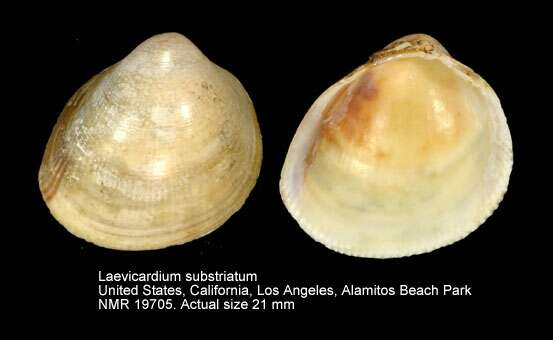 Image of Laevicardium