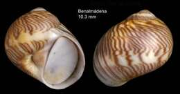 Image of moon snail