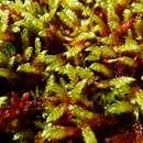 Image of tomentypnum moss