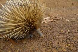 Image of Short-beaked Echidnas