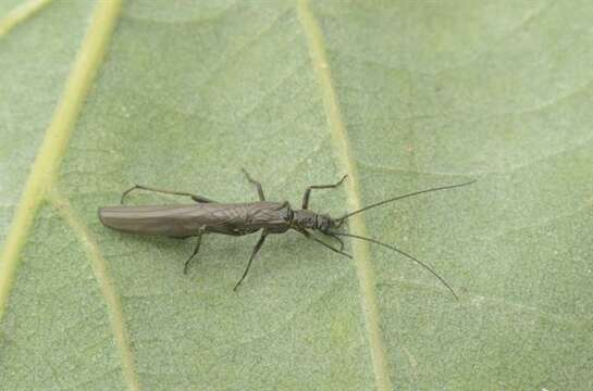 Image of rolled-winged stoneflies