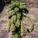 Image of <i>Brassica oleracea</i> var. <i>viridis</i> L.