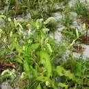 Image of <i>Persicaria lapathifolia</i> ssp. <i>pallida</i> (With.) S. Ekman & T. Knutsson