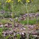 Image of <i>Senecio vernalis</i> Waldst. & Kit.