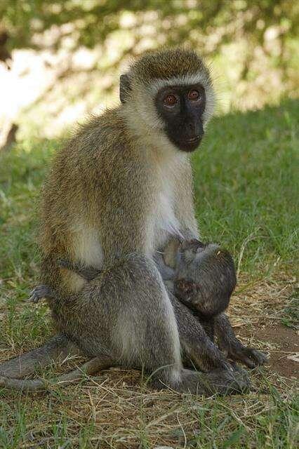 Image of Old World monkeys