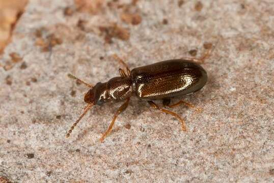 Image of narrow-waisted bark beetles