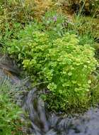 Image of northern golden saxifrage